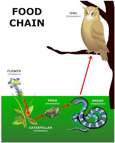 food web examples. Here is a sample food chain: